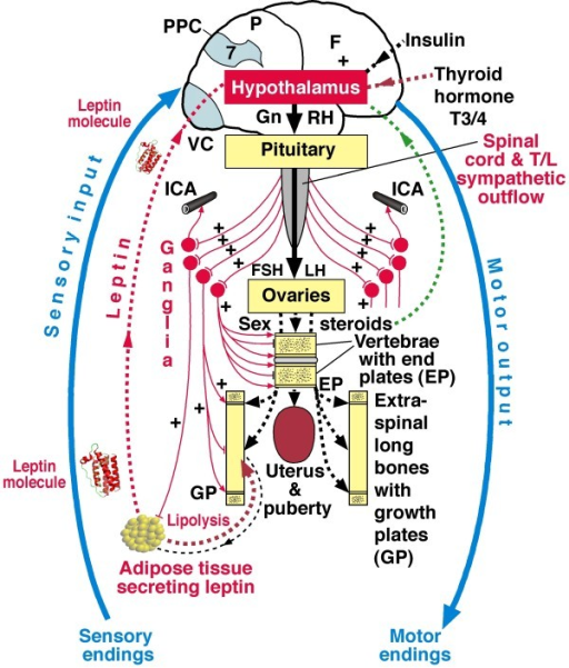 Diagram of relevant somatic blue and autonomic nervou open i diagram of relevant somatic blue and autonomic nervous systems ans red ccuart Choice Image