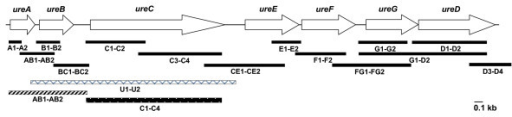 Organization of ure gene cluster of Y. enterocolitica biovar 1A. Primers used for amplification of structural and accessory genes, and the intergenic regions thereof are indicated.