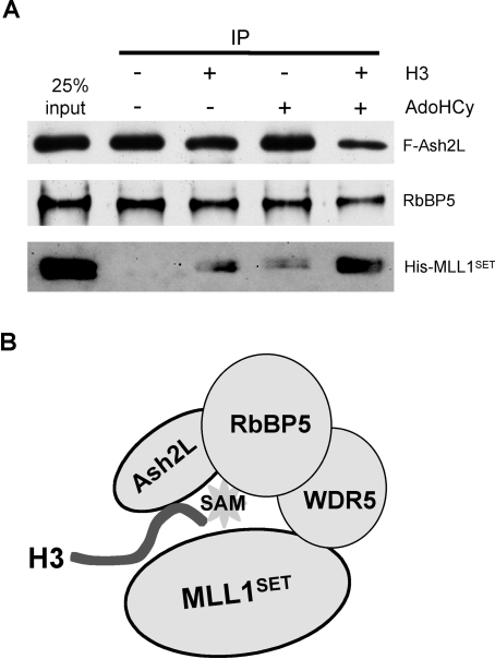 "H3 and SAM mediate Ash2L/RbBP5 and MLL1SET interaction.(A) 150 nM recombinant proteins Flag-Ash2L, His-RbBP5 and His-MLL1SET were mixed in the presence of ∼7.5 µM histone H3, ∼10 µM methylation product AdoHcy or both as indicated on top. After Flag-IP, eluates from M2 agarose beads were separated on SDS-PAGE and immunoblotted for MLL1SET, Ash2L and RbBP5 (indicated on right). 25% input was loaded as the control. (B) ""Single catalytic center"" model for the regulation of the MLL1 core complex. In this model, Ash2L/RbBP5 and MLL1SET interact with the same H3 substrate and substrate SAM and form a shared active center for catalysis. This structure is further stabilized by WDR5, which simultaneously interacts with RbBP5 and MLL1SET."