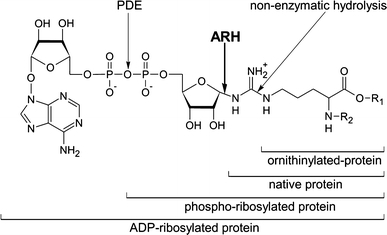 Enzymatic and non-enzymatic processing of ADP-ribosylarginine. See text for details. ARH ADP-ribosylhydrolase, PDE phosphodiesterase