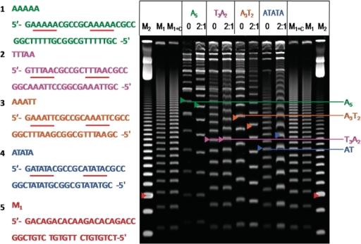 Sequence of DNA duplexes used (left) and 8% PAGE gel of DB75 with the duplexes (right). The colored arrows indicate the 189-bp duplex for each ladder. The red arrow of M2 indicates 100 bp, while the red arrow of M1 indicates 189 bp of the random sequence marker. Electrophoresis was done for 2 h 20 min at 200 V and compound was not included in the gel. For each duplex, 0 indicates DNA that is not incubated with compound prior to electrophoresis, and the ratio 2:1 (compound to binding site) indicates DNA incubated with compound prior to electrophoresis. The brightest bands near the top of the lanes are circular products.