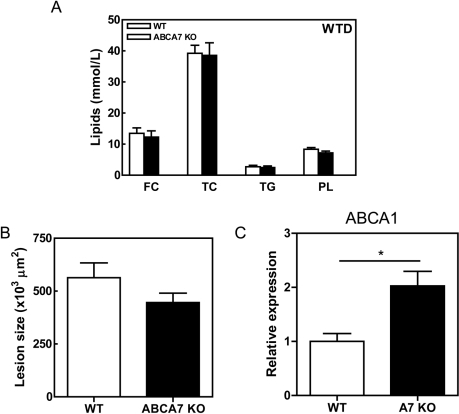 Effects of macrophage ABCA7 deficiency on plasma lipid levels, atherosclerosis and ABCA1 expression in peritoneal macrophages from LDLr KO mice reconstituted with WT and ABCA7 KO bone marrow.(A) Blood samples were drawn after an overnight fast. The concentrations of cholesterol, phospholipids and triglycerides in serum were determined using enzymatic colorimetric assays. (B) The mean lesion area (µm2) was calculated from Oil red O-stained cross-sections of the aortic root at the level of the tricuspid valves. (C) Guanidium thiocyanate-phenol was used to extract total RNA from cells and mRNA expression was determined by real-time RT-PCR. Hypoxanthine Guanine Phosphoribosyl Transferase (HPRT), β-actin, and acidic ribosomal phosphoprotein PO (36B4) were used as the standard housekeeping genes. Relative gene expression was calculated by subtracting the threshold cycle number (Ct) of the target gene from the average Ct of housekeeping genes and raising two to the power of this difference. Values represent the mean ± SEM of ≥6 mice per group. Statistically significant difference *p<0.05.