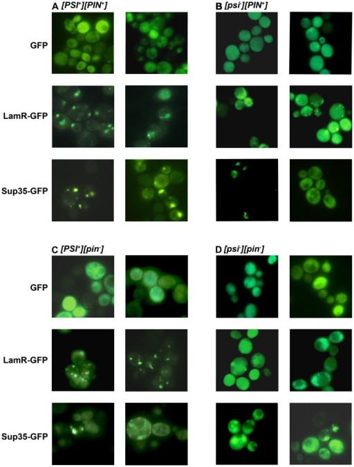 purification of recombinant green fluorescent protein biology essay Transformation of ecoli with plasmid dna & gfp purification essay example  purification of recombinant green fluorescent protein, plos one, 9, 9, pp 1-9 .