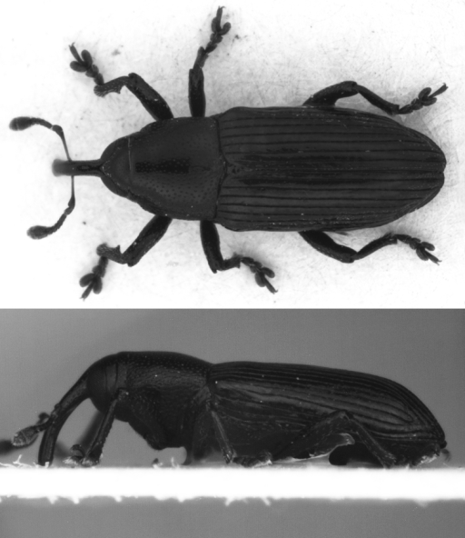 Limnobaris martensi, dorsal and lateral view of holotype (L = 3.2 mm).