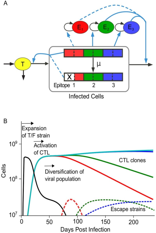 A computational model of the interaction between HIV and multiple CTL clones.(A) The model given by Equations 6 to 8 comprises three interacting cell compartments: target cells (T), infected cells (I) and multiple CTL clones (E). Viral genomes contain multiple epitopes, which can mutate to partially abrogate CTL recognition. An escape mutation is denoted by an X. Each CTL clone recognizes a single viral epitope and is stimulated to divide at a rate proportional to the number of infected cells with recognizable epitopes. The model is designed to study the rate of escape in epitopes when CTL pressure is distributed across multiple epitopes, as well as study intra-epitope escape patterns when CTL respond dynamically to the infected cells that they recognize. Black arrows: flux of cells from one compartment to another. Blue arrows: dependence of the rate of flux from one compartment on another. Dotted lines represent attenuation of the interaction strength. (B) Simulation example showing three phases of HIV evolution. A single virus strain initiates the infection (transmitted strain, black). In response to the growing number of infected cells, multiple CTL clones are activated (colored lines), and the system reaches a steady state. Finally, virus strains with escape mutations (dashed, colored lines) replace the transmitted strain. In response to lowered activation signals, some CTL clones decline. The escape strains are colored to match the CTL against which an escape was most recently acquired. Model parameters: number of epitopes, ; number of sites per epitope, . Epitopes 1–3 have parameters that allow escape , epitopes 4–6 have parameters that prohibit escape, . Other parameters are listed in Table 1.