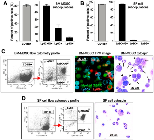 "Phenotype and morphology of myeloid-derived suppressor cell (MDSC)-like cells generated in vitro from murine bone marrow (BM) in comparison with synovial fluid (SF) cells.(A) Phenotype of MDSCs arising from growth factor-cytokine treated BM cell cultures as determined by flow cytometry. BM cells were cultured in the presence of GM-CSF, IL-6, and G-CSF (10 ng/ml each). On day 3, cells were immunostained for CD11b, Ly6C, and Ly6G. Approximately 80% of the cells expressed the common myeloid marker CD11b (gray bar). Gating on CD11b+ cells revealed that the majority of them co-expressed Ly6C (marker of the ""monocytic"" subset) and Ly6G (marker of the ""granulocytic"" subset), but cells expressing only one marker were also present (black bars). The results are the means ± SEM of 7 independent BM cultures. (B) In SF, the vast majority of the CD11b+ myeloid population (gray bar) was found to be cells co-expressing Ly6G and Ly6C, and lower proportions of cells expressed Ly6C or Ly6G only (black bars) than in the BM-MDSC cell cultures. The results are the means ± SEM of 7 separate pools of SF cells freshly harvested from arthritic mouse joints. (C) Flow cytometry profile of BM-MDSCs (left panels) is shown as an example of subset identification after gating on CD11b+ cells. Fluorescence image of EGFP+ BM-MDSCs (middle panel) after surface staining with a blue fluorescent antibody to Ly6C and a red fluorescent antibody to Ly6G shows cells expressing one or both markers. BM for culture was obtained from an EGFP-LysM-Tg mouse expressing EGFP (green fluorescence) in myeloid cells. Imaging was performed using two-photon microscopy (TPM). Morphology of BM-MDSCs (right panel) was visualized by Wright-Giemsa staining of a cytospin preparation, which shows both polymorphonuclear granulocyte (neutrophil)-like cells (arrows) and large precursor-like cells (arrowheads). (D) Flow cytometry profile (left) and morphology (right) of SF cells harvested from the arthritic joints of mice with PGIA. While the CD11b+ myeloid population is large in both the BM-MDSC culture and arthritic SF, and is dominated by Ly6C/Ly6G double positive cells in both samples (analyzed simultaneously), BM-MDSCs show greater heterogeneity in morphology than SF cells."