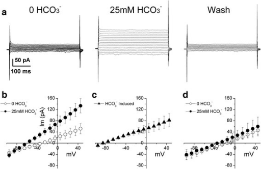 HCO3−-induced current in NBCe2-C expressing HEK-293 cells. a) The cell was whole-cell voltage-clamped at -60 mV. A series of 400 ms voltage-clamp pulses range from -95 to +45 mV with increment of 10 mV were applied and whole-cell current responses were recorded. In the pre-HCO3− conditions, there is no HCO3− in the patch pipette (Table 1, patch solution a) nor in the bath solution (Table 1, Bath solution A). Increasing HCO3− concentration to 25 mM in the bath solution (Bath solution B in Table 1) induced a voltage-dependent current (central panel). The current recovered when the cell was washed with solution containing 0 HCO3− (right panel). b) Current-voltage (I-V) relation of steady-state current in the absence and presence of HCO3− (n = 8). Im (pA): membrane current in pA. Steady-state current was obtained by averaging 80 ms of the current trace toward the end of each 400 ms voltage pulse. c) I-V curve of HCO3− induced current is the difference between the I-V curves in the absence of HCO3− and in the presence of HCO3−. d) Application of 25 mM HCO3− in the bath did not induce any current in EGFP negative cells (n = 4).