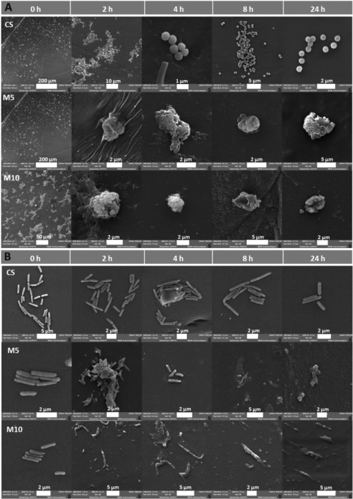 SEM micrographs representingthe morphology of the bacteria cellwall upon contact with chitosan and chitosan–gold nanocomposites(CS_M with 5 and 10 mM gold initial precursor) on (A) S. aureus ATTC 25923 and (B) P. aeruginosa ATCC 27853.