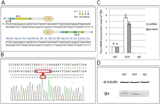 Construct design and strategies for Tβ4 knockout mice by TALEN and an analysis of the transcriptional and protein expression levels of Tβ4.(A) A representative schematic of the TALEN is indicated, showing the left and right TALEN DNA recognition sequences (underlined) and the spacer region fused to the FokI endonuclease catalytic domain. (B) The red box indicates the gap in the genomic DNA of KO mouse. (C) This graphical representation demonstrates the pattern of Tβ4 mRNA and protein levels between the dorsal skin samples of the three groups obtained from real-time PCR and western blotting analysis. Gapdh in real-time PCR and α-tubulin in western blotting were used as internal controls. Samples from the WT group were normalized to 1. Each bar represents the mean ± SEM (n = 3). Different superscripts on the bar indicate statistical difference (P < 0.01). (D) Protein expression of Tβ4 was detected by western blotting. α-Tubulin was used as the loading control. The molecular mass of Tβ4 and α-tubulin were approximately 4.9 kDa and 50 kDa, respectively. The results of one representative image of three independent experiments are presented.