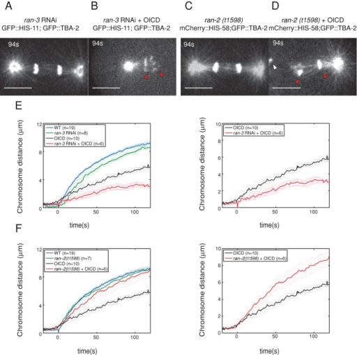 RanGTP promotes chromatid separation in the absence of centrosomes. (A–D) Snapshots of GFP::tubulin; GFP::histone in an ran-3(RNAi) embryo with intact centrosomes (A) or after OICD of the posterior centrosome (B), and in a ran-2(t1598) homozygous mutant with intact centrosomes (C) or after OICD of the anterior centrosome (D). Red arrowheads point to the chromatids. (E, F) Average curves of the chromatid-to-chromatid distance in micrometers over time in intact cells or after OICD for wild-type (blue and black curves, respectively) and mutant or RNAi-treated embryos (green and red curves, respectively). Right, only the curves corresponding to the OICD experiments are shown. ran-3 (RNAi) embryos are shown in E, and ran-2(t1598) is shown in F. Scale bar, 10 μm. t = 0 s: chromatid separation onset. Errors bars, SD.