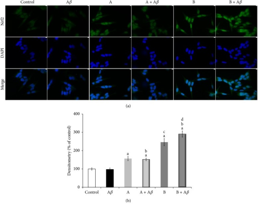 Broccoli sprouts juices activate nuclear translocation of Nrf2 transcription factor which controls the expression of cell survival genes involved in defence against oxidative stress-mediated damage. SH-SY5Y cells were incubated with 25 μM Aβ25–35 in the presence or in the absence of 10 μL/mL of juice A or juice B for 3 h. (a) Nrf2 nuclear translocation was verified by immunofluorescence microscopy by utilizing anti-Nrf2 antibody and DAPI staining. Representative images of three independent experiments show the stimulation of Nrf2 nuclear accumulation by broccoli sprouts juices A or B exposure, compared to both control cells and Aβ25–35 alone treated cells. (b) Densitometric analysis of the mean nuclear located-Nrf2 fluorescence signal as calculated analyzing immunofluorescence images by the Image J software. Data are expressed as percentage of control and represented as mean ± SEM (n = 3), aP < 0.001 versus control; bP < 0.001 versus Aβ25–35; cP < 0.001 versus juice A; dP < 0.001 versus (A + Aβ).