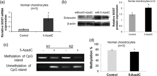 Effect of 5-AzadC treatment on SOST expression and DNA methylation status in the CpG-rich region of the SOST promoter. a Quantitative SOST mRNA expression in cultured normal chondrocytes (n = 3) after treatment with 5 μM 5-AzadC. GAPDH was used for normalization of the real-time PCR data (error bars = standard error, *p = 0.041). b Representative western blot of SOST protein levels in cultured normal chondrocytes after treatment with 5 μM 5-AzadC and a bar graph showing relative SOST protein expression normalized to β-actin in 5-AzadC-treated normal chondrocytes (n = 3) (error bars = standard error, *p = 0.009). c DNA methylation and unmethylation status of the SOST promoter in cultured normal chondrocytes after treatment with 5 μM 5-AzadC. d DNA methylation values in CpG-rich region of the SOST promoter in cultured normal chondrocytes (n = 3) after treatment with 5 μM 5-AzadC by quantitative methylation-specific PCR (error bars = standard error, *p = 0.032)