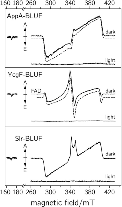 TrEPR spectra of various BLUF domains recorded at 1 μs after pulsed laser excitation (adapted from Weber et al., 2011). Upper: dark-adapted and blue-light adapted AppA-BLUF protein. Middle: dark and blue-light illuminated YcgF-BLUF samples. Lower: dark and blue-light illuminated Slr-BLUF protein. The respective dashed curves represent spectral simulations of the dark-state sample.