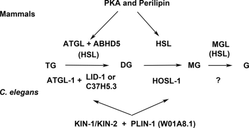 Enzymes and regulatory proteins involved in lipolysis (Adapted from Lass et al., 2011).Mammalian proteins are indicated above the arrows and their C. elegans orthologues (Lee et al., 2014) below. Triacylglycerol (TAG) is progressively hydrolysed to diacylglycerol (DAG), monoacylglycerol (MAG) and glycerol (G) by lipases specific for each of these steps: adipose triacylglycerol lipase (ATGL), hormone-sensitive lipase (HSL) and finally monoacylglycerol lipase (MGL). LID-1 and C37H5.3 were proposed to be orthologues of ABHD5/CGI58 in C. elegans (Lee et al., 2014; Xie & Roy, 2015). HSL also shows some activity in the first and third step. The access of ATGL and HSL to lipid droplets is regulated by perilipin, which is under the control of protein kinase A (PKA). W01A8.1 is proposed to be a perilipin orthologue in the present work.