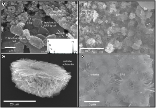 SEM images of the Fe-carbonate precipitates from T. Lapidicaptus anaerobic cultures. (A) Siderite nanoglobules embedded in EPS and attached to mineralized dividing T. Lapidicaptus cells. Note the vivianite crystal attached to these cells. EDX spectrum of mineralized cell displaying C, O, Fe, and small peak of P. (B) Fe-carbonate nanoglobules (siderite) embedded in EPS and delimiting the bacterial cell contours (white arrows). These nanostructures display granulated texture. White arrows correspond to moulds of degraded bacteria (broken cells). (C) Broken microspherulite of siderite. (D) Detail of a siderite spherulite which formed by aggregation of nanoparticles.