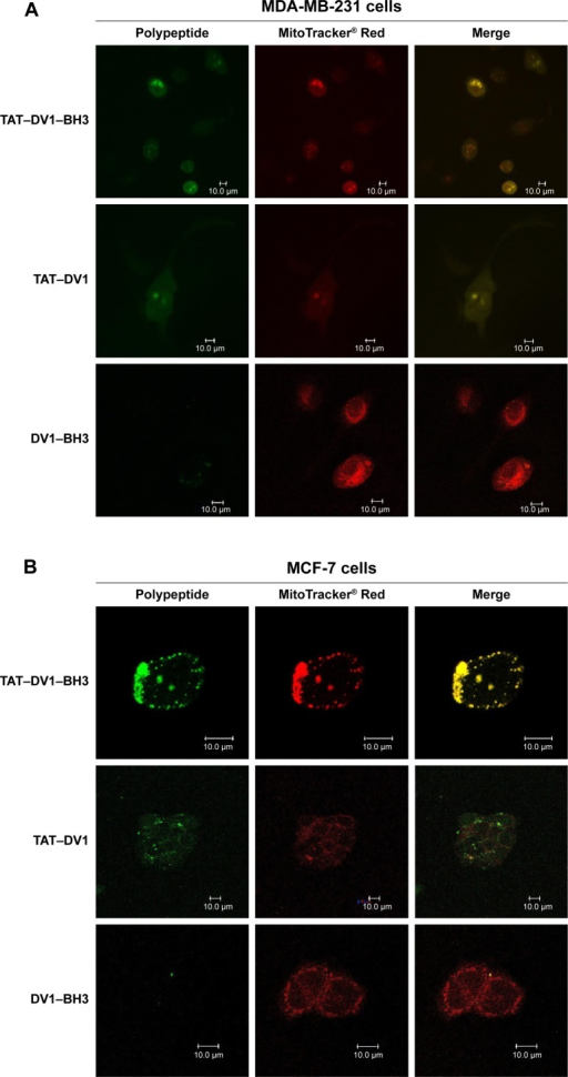 The colocalization of DV1–BH3, TAT–DV1, and TAT–DV1–BH3 in MDA-MB-231, MCF-7, and HEK-293 cells.Notes: The fused polypeptides and the mitochondria were observed using laser scanning confocal microscopy. MDA-MB-231 (A), MCF-7 (B), and HEK-293 (C) cells were treated with 40 μM DV1–BH3, TAT–DV1, or TAT–DV1–BH3 for 1 hour and washed with PBS, then the cells were stained with Mito Tracker Red CMXRos. The green fluorescence was from the polypeptides and the red fluorescence was from the mitochondria. Scale bar, 10 μm.Abbreviations: BH3, Bcl-2 homology 3; TAT, transactivator of transcription; PBS, phosphate-buffered saline.
