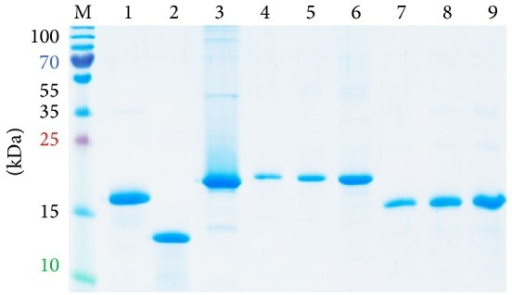 Expression of structural proteins encoded by the 5′ terminus of HCV RNA, HCV core aa 1–173 (lanes 4–6) and F-protein (lanes 7–9). E. coli were transformed with plasmids expressing core 1–173 and F-protein; cell lysates were resolved by 15% SDS-PAGE; gel was stained with Coomassie brilliant blue. HCV core 1–173 (0.5, 1, and 2.5 µg per well, lanes 4–6) and F-protein (0.5, 1, and 2.5 µg per well, lanes 7–9), respectively. Controls: His-tagged outer surface protein BB0689 of B. burgdorferi (2.5 µg, lane 1), lysozyme (2.5 µg, lane 2); HBcAg (2.5 µg, lane 3); PageRuler Plus Prestained Protein Ladder (Thermo Scientific, lane M). Position of molecular mass markers is given on the left.