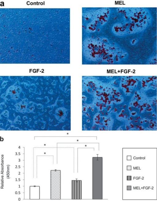 Alizarin Red Staining of MC3T3-E1 cells under the influence of FGF-2 and/or melatonin (MEL). a- Alizarin Red staining of monolayer cultures showed increased mineralization after 2 weeks of treatment with MEL or FGF-2 in osteogenic induction medium compared to the control. The combination of MEL and FGF-2 resulted in more intense staining; b- Quantified values obtained from cells cultured within IP-CHA constructs suggested a role for MEL in mineralization, while combined FGF-2 and MEL induced increased mineralization. Statistical significance shown by p<0.05 is indicated by *