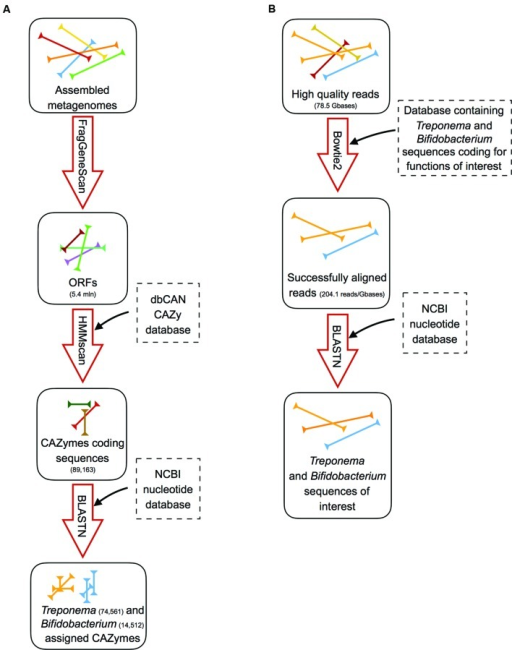 Schematic representation of the analysis workflow. (A) Pipeline for the identification and assignment of Treponema and Bifidobacterium CAZymes on assembled metagenomes: (i) ORFs detection using FragGeneScan; (ii) detection of the CAZyme-coding ORFs by using hmmscan against the dbCAN CAZy database; (iii) taxonomy assignment to CAZyme-coding sequences by blastn against the NCBI nucleotide database. (B) Pipeline for the identification of Treponema and Bifidobacterium sequences coding for functions involved in the adaptation to the gut environment: (i) alignment of high quality reads to databases containing the selected Treponema or Bifidobacterium functions using bowtie2; (ii) blasting of the successfully aligned reads against the NCBI nucleotide database to confirm the taxonomy.