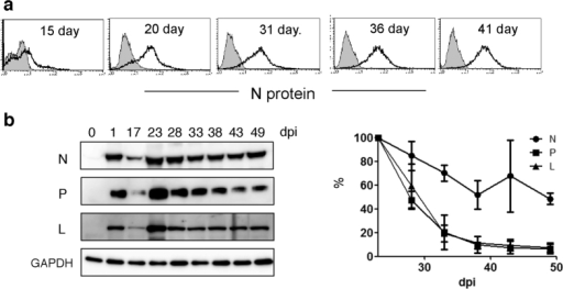 MV N, P, and L protein levels in MV-infected B95a cells.(a) Intracellular MV N protein was stained at the indicated dpi. Open and filled histograms indicate uninfected and infected B95a cells, respectively. (b) Western blotting of MV N, P, and L proteins at the indicated dpi. GAPDH was used as an internal control. Averages of the relative protein amounts of N, P and L proteins at 23 dpi in three independent infections are graphed.