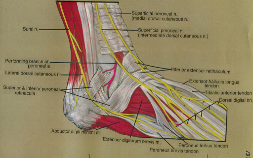 sural nerve; perforating peroneal (fibular) arterial branch; lateral dorsal cutaneous nerve; superior fibular (peroneal) retinaculum; inferior fibular (peroneal) retinaculum; abductor digiti minimi muscle; extensor digitorum brevis muscle; fibularis (peroneus) brevis tendon; fibularis (peroneus) tertius tendon; superficial peroneal nerve; medial dorsal cutaneous nerve; superficial fibular (peroneal) nerve; intermediate dorsal cutaneous nerve; inferior extensor retinaculum; extensor hallucis longus tendon; tibialis anterior tendon; dorsal digital nerves
