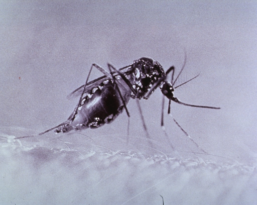 <p>Close-up view of mosquito.</p>