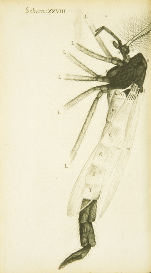 <p>Illustration of a gnat in profile.</p>