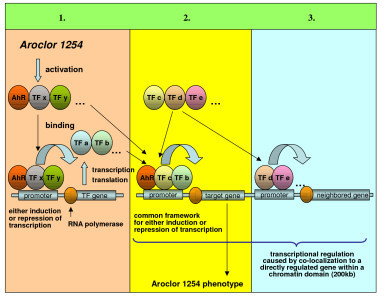 The coordinate events which resulted in gene regulation in response to Aroclor 1254. 1) The Aroclor 1254-activated nuclear transcription factor AhR influences the expression of different transcription factors by binding to AhR recognition sites in corresponding promoters. These transcription factors constitute the basis of a regulatory gene network that again influences the expression of different genes. Other transcription factors could also be primary targets of Aroclor 1254. 2) The Aroclor 1254-activated nuclear transcription factor AhR seems to act in concert with other transcription factors, because a common framework of the corresponding binding sites could be identified proximal to AhR in the Aroclor 1254-regulated gene promoters. The combination of co-acting transcription factors might be one reason for the level of gene expression being either induced or repressed. Other transcription factors whose sites are found in the neighborhood of AhR binding sites could well be primary targets of Aroclor 1254. 3) Chromosomal localization seems to be important in the large-scale regulation of mRNA transcripts in response to Aroclor 1254. Hence, genes in neighborhood of direct Aroclor 1254-induced transcriptional regulation (primary effect), might be co-expressed through the accessibility of their promoters for transcription factors whose transcription was altered by Aroclor 1254 (secondary effect).