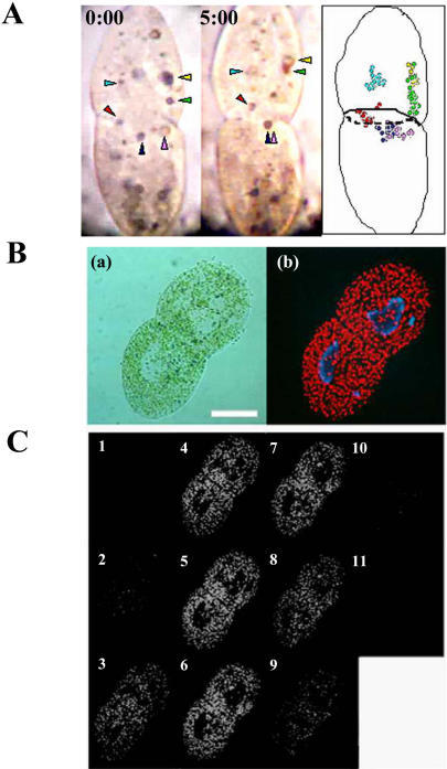 (A) Movement of carmine particles near the division plane in algae-free P. bursaria at dividing phase.An algae-free P. bursaria having carmine particles (arrowheads) was monitored using video-microscopy (Left and Middle panel: 0 min and 5 min after initiating the observation, respectively). The right panel is a schematic diagram of movements of carmine particles. (B) P. bursaria at dividing phase. Microphotographs indicate a differential interference contrast image (a) and the corresponding conventional fluorescence image (b). Scale bar, 50 µm. (C) Serial fluorescence sections of dividing paramecia obtained by confocal microscope. Endosymbionts were eliminated from the division plane in P. bursaria at dividing phase.