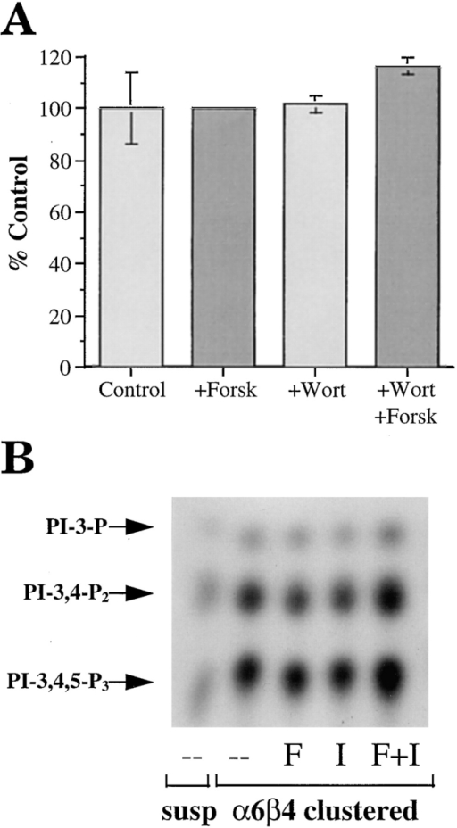 (A) Evaluation of PI3-K involvement in PDE activity.  The MDA/β4 transfectants were incubated for 30 min in the  presence of either forskolin or wortmannin, or both in combination, before assay of PDE activity as described in Materials and  Methods. (B) Evaluation of the cAMP regulation of PI3-K activity. The MDA/β4 and mock transfectants were incubated in suspension with either forskolin or IBMX or both for 10 min. Subsequently, these cells were either maintained in suspension or  incubated with a β4 integrin-specific antibody and allowed to adhere to anti-mouse IgG-coated plates or laminin-1–coated plates  for 30 min. Aliquots of cell extracts that contained equivalent  amounts of protein were incubated with the anti-phosphotyrosine  mAb 4G10 and protein A–Sepharose for 3 h. After washing, the  beads were resuspended in kinase buffer and incubated for 10  min at room temperature. The phosphorylated lipids were resolved by thin layer chromatography. Arrows, position of the D3-phosphoinositides.