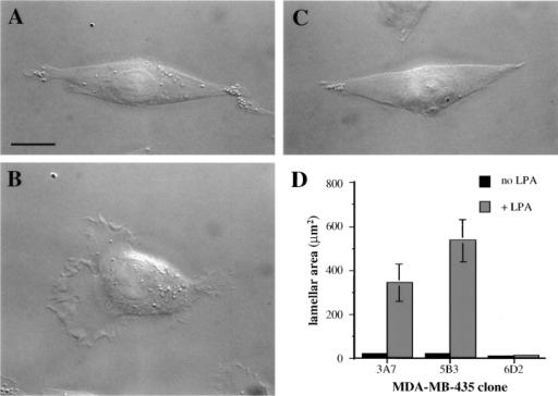 The α6β4 integrin  is required for the LPA-dependent formation of  lamellae in MDA-MB-435  cells. MDA/β4 (A and B) and  mock transfectants (C) were  plated onto coverslips that  had been coated with 20 μg/ ml collagen I. Cells were allowed to adhere for 2 h at  37°C and then treated with  LPA for 5 min. (B and C) or  left untreated (A). The cells  were visualized using Nomarski DIC optics. Note the large  lamellae that are formed in  response to LPA stimulation  of the MDA/β4 transfectants.  (D) The effect of LPA on  lamellar area was quantified  using IPLab Spectrum imaging software. Data are shown  as mean lamellar area ± standard error in which n > 20.  Bar, 10 μm.