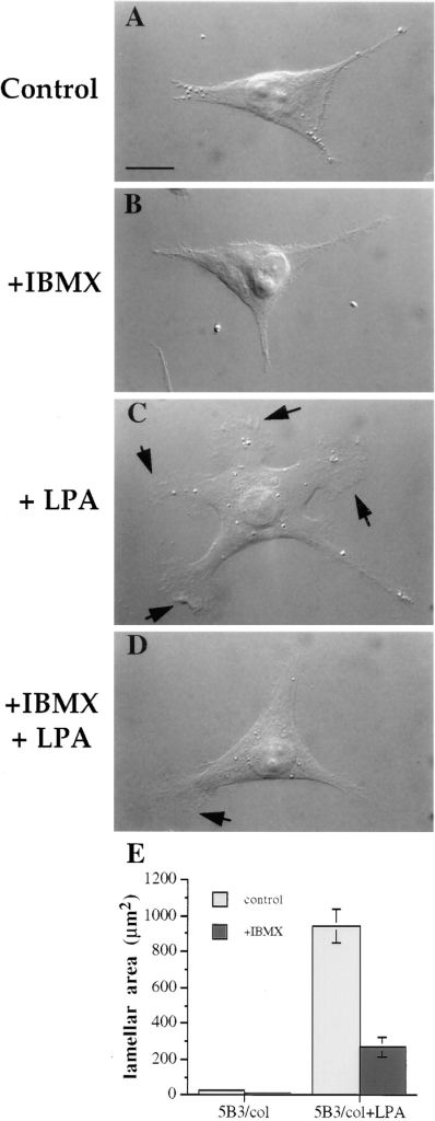 cAMP specific-PDE activity is required for LPA-dependent formation of lamellae in the MDA/β4 transfectants. The  MDA/β4 transfectants (5B3) were plated on collagen I–coated  coverslips. After 2 h, the cells were either left untreated (A and  C) or treated with 1mM IBMX (B and D) for 30 min. Subsequently, the cells were either left untreated (A and B) or treated  with 100 nM LPA for 5 min (C and D). The cells were then fixed  and visualized using Nomarski DIC optics. (E) The effect of LPA  and IBMX on lamellar area was quantified using IPLab Spectrum  imaging software. Bars represent mean lamellar area ± standard  error in which n > 20. Of note, IBMX inhibited the LPA-dependent formation of lamellae by 70%.
