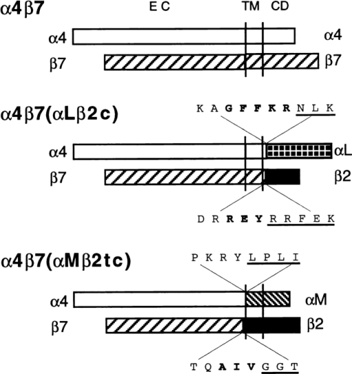 Schematic representation of wild-type and chimeric  α4β7 integrins. The amino acid sequence at the splice site is shown  with conserved regions in bold, and the αLβ2 or αMβ2 sequences  underlined.