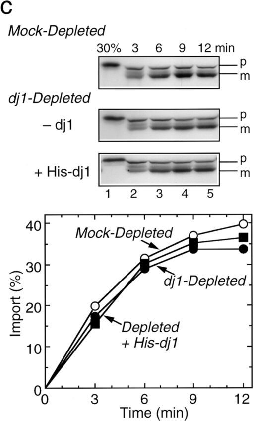 Effect of depletion  and readdition of chaperones  on import of pOTC into rat  liver mitochondria. (a) Rat  pOTC synthesized in the untreated rabbit reticulocyte lysate (Untreated, 15 KBq) or  in the hsc70-depleted lysate  without readdition (Depleted, 2.0 KBq) or with readdition (Depleted + Hsc70,  2.0 KBq) of 1.8 μM mouse  hsc70 before translation, was  subjected to import assay, as  described in Materials and  Methods. (b) Rat pOTC synthesized in the mock-depleted  lysate (Mock-Depleted, 23  KBq) or in the dj2-depleted  lysate without readdition  (Depleted, 20 KBq) or with  readdition (Depleted + His-dj2, 16 KBq) of 0.4 μM His-dj2 before translation was subjected to import assay. (c) Rat pOTC synthesized  in the mock-depleted lysate (Mock-Depleted, 23 KBq) or in the dj1-depleted lysate without readdition (Depleted, 14 KBq) or with readdition (Depleted + His-dj1, 16 KBq) of 0.5 μM His-dj1 before translation was subjected to import assay. Portions of the fluorograms are  shown in the upper part of each panel. p, precursor form of OTC; m, mature form of OTC; 30%, 30% of the input pOTC. The results  were quantitated by imaging plate analysis using FUJIX BAS2000 analyzer and are shown in the lower part.