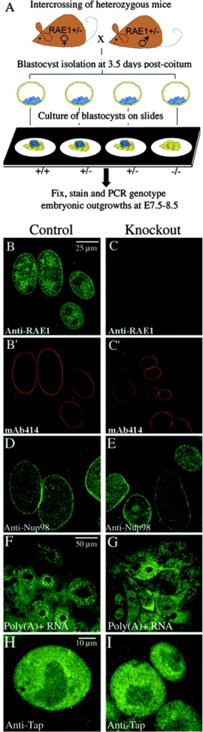 Rae1 is not essential for nuclear export of mRNA. (A) Overview of the experimental design. Blastocysts from intercrosses of Rae1+/− mice were cultured for ∼4–5 d and then analyzed by immunostaining or in situ hybridization. (B–C') Double staining of E8.5 embryonic outgrowths with a polyclonal antibody against mouse Rae1(188–368) (Pritchard et al., 1999) and monoclonal antibody mAb414, a marker of the NPC (Wu et al., 2001). Shown are representative high-resolution images of trophectoderm cells. (D and E) Immunostaining of E8.5 embryonic outgrowths with a polyclonal antibody against Nup98(151–224) (Wu et al., 2001). Shown are high-resolution images of trophectoderm cells. (F and G) Localization of poly(A)+ RNA in trophectoderm cells from E8.5 Rae1+/+ and Rae1−/− outgrowths. A FITC–oligo(dT)50 probe was used for visualization of poly(A)+ by in situ hybridization. (H and I) Trophoblast cells stained with a polyclonal antibody against human Tap (Braun et al., 1999).