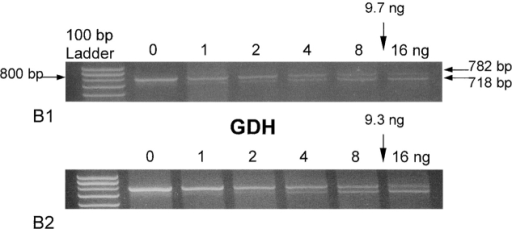 Quantitation of ALDH2–1 and GDH steady-state mRNA by competitive RT-PCR. A1 and A2 show ALDH2 mRNA expression and B1 and B2 show GDH mRNA expression. H4-II-E-C3 hepatoma cells were incubated with Lipofectamine Plus™ in the presence of 1 μM ASO-9 (A1 and B1) or the 4-base mismatch of ASO-9 (A2 and B2, nucleotide sequence in Table ). The concentration shown represents the pg of ALDH2 mRNA competitor added/μg total RNA (A1 and A2) and ng GDH mRNA competitor added/μg total RNA (B1 and B2). As can be observed, lesser competitor was necessary to compete with ALDH2 mRNA in ASO-9–treated cells than in cells treated with the 4-base mismatch of ASO-9 (control). In three replicates, the relative concentration of ALDH mRNA for 4-base mismatch control cells was (indicated by arrows) 21.8 ± 8.3 pg/mg total RNA; that for the ASO-9–treated cells was 5.6 ± 0.5 pg/mg total RNA. ASO-9 did not affect the GDH mRNA levels when compared with the 4-base mismatch oligonucleotide. In three replicates, the relative concentration of GDH mRNA for 4-base mismatch control cells was (indicated by arrows) 9.65 ± 0.19 ng/mg total RNA; that for the ASO-9–treated cells was 9.26 ± 0.18 ng/mg total RNA.