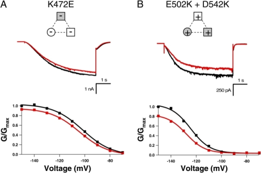 Double negative-to-positive HCN2 mutant has same phenotype as B' helix site positive-to-negative mutant. Behavior of K472E (A) and E502K+D542K (B) HCN2 channels. Currents in response to voltage pulses to −130 mV, as well as conductance–voltage relations of the normalized conductance from tail currents at −40 mV, are shown in the absence (black) and presence of saturating cAMP (red). Diagrams at the top of each column show attractive electrostatic interactions by solid lines and repulsive electrostatic interactions by dotted lines with wild-type residues as open symbols and mutant residues as shaded symbols. The GV curves are fit with a Boltzmann relation.