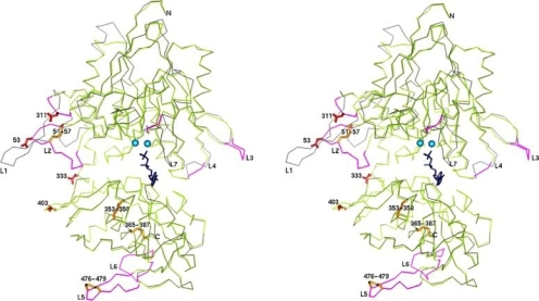 Superposition of the Cα traces of the experimental X-ray structure of E. coli 5′-NT (protein C of PDB ID 1HPU; grey) and the homology model for human 5′-NT. Larger insertions and deletions of the ecto-5′-NT are coloured in magenta and labeled L1 to L7. The closed conformation of E. coli 5′-NT (protein C of PDB ID 1HPU) has been used as template for the homology modelling according to the sequence alignment listed in Fig. 2). The exact loop conformations of longer insertions (L2, L3, L5 and L6) in ecto-5′-NT cannot be modeled with confidence. The experimentally determined disulfide bridges of bovine 5′-NT are shown in yellow and the glycosylated asparagines are shown in red. Depicted in dark blue is the substrate analogue inhibitor α,β-methylene-ADP.
