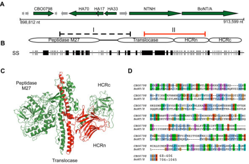 Genomic location of flagellin CBO0798 and regions of sequence similarity with CNTs. A) Genomic context of the neurotoxin gene cluster for C. botulinum A. str. Hall. B) Domain structure of CNTs and regions of detected similarity with NTNH (region I) and BoNT/A (region 2) according to SSEARCH. A consensus CNT secondary structure based on a multiple sequence alignment is indicated below the schematic, with black lines representing alpha helices and grey lines representing beta sheets. C) The structure of BoNT/A (PDB ID 3BTA) with region II highlighted in red. D) A Smith-Waterman alignment of region II from C. butyricum BoNT/E and CBO0798.