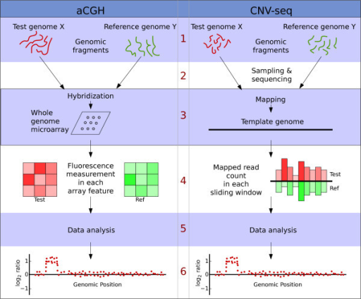 A comparison of the conceptual steps in aCGH and CNV-seq methods. 1. Starting material in both cases is genomic fragments from two genomes. 2. In CNV-seq the fragments are samples and sequenced. 3. Genomic fragments are directly hybridized on to an array. In CNV-seq the mapping is performed by sequence alignment. 4. In microarray the light intensities reflect the number of hybridized fragments. In CNV-seq the number of mapped reads are counted directly. 5. Data analysis, including estimation of copy number ratios, confidence values, etc. 6. Output of the results.