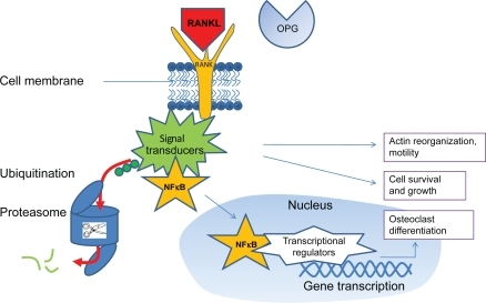 Free RANKL (ie, not bound by osteoprotegerin [OPG]) binds to the transmembrane RANK receptor, which upregulates intracellular signal transducers which are involved in cytoskeletal organization, cell motility, growth and survival, and some also bind NF κB. After ubiquitination, signal transducers are released from NF κB and degraded by proteasomes. NF κB can than migrate to the nucleus, were it upregulates transcriptional regulators that start osteoclastogenic gene transcription.2