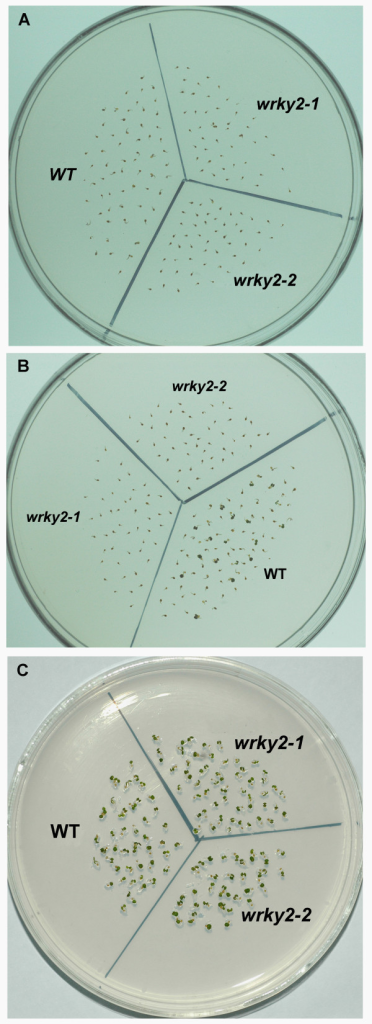wrky2 mutants are hypersensitive to ABA responses in a short development window. (A) Seeds were germinated on MS medium 1 d after stratification, all were transferred to MS medium with 5 μM ABA. Photographs were taken 6 d after transfer. (B) Seeds were germinated on MS medium and 2 d after stratification, all were transferred to MS medium with 5 μM ABA. Photographs were taken 5 d after transfer. (C) Seeds were germinated on MS medium and 3 d after stratification, all were transferred to MS medium with 5 μM ABA. Photographs were taken 4 d after transfer.