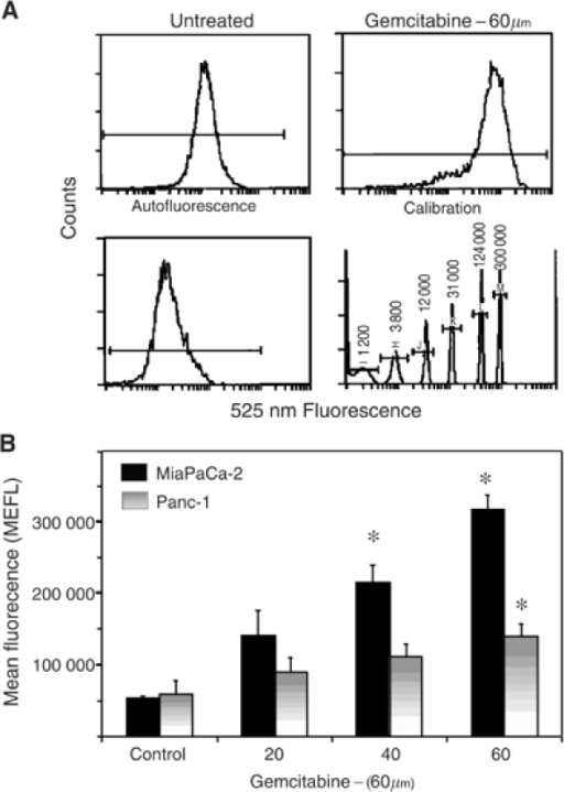 APE/ref-1 protein levels in control and gemcitabine-treated MiaPaCa and Panc-1 monolayers. (A) Representative flow cytometry data for MiaPaCa cells treated with 60 μM gemcitabine for 48 h compared to untreated control, autofluorescence background and calibration beads. Gated on light scatter to exclude dead cells. (B) APE/ref-1 protein levels in MiaPaCa and Panc-1 controls and cells treated with 20, 40 and 60  μm gemcitabine for 48 h, expressed as mean equivalent fluorescein (MEFL) values obtained from the calibration beads. Bars represent means from three separate experiments±s.e. Stars indicate results that are statistically significant (P<0.05) with respect to the nontreated samples.