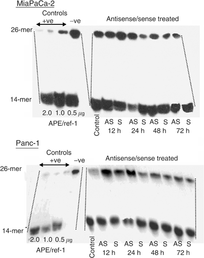 Endonuclease activity of MiaPaCa and Panc-1 cells treated with antisense oligonucleotides. The MiaPaCa and Panc-1 cell lines were exposed to antisense or sense oligonucleotides for various time points. Cell lysates were collected and analysed using the endonuclease assay. C – control; AS – antisense; S – sense.