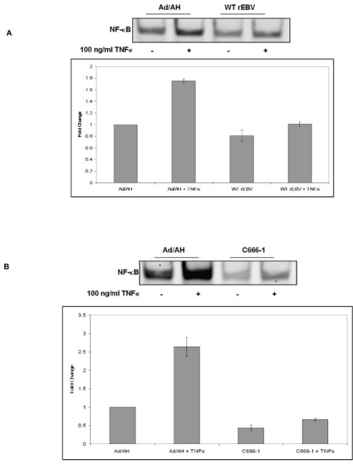 EMSA analysis with quantitative densitometry demonstrating that (A) Ad/AH cells stably infected with rEBV exhibit reduced NF-κB DNA binding, both basally and in response to TNFα, relative to Ad/AH parental cells. (B) C666-1 cells (EBV-positive) exhibit reduced NF-κB DNA binding, both basally and in response to TNFα, relative to Ad/AH parental cells. EMSAs were performed in triplicate.