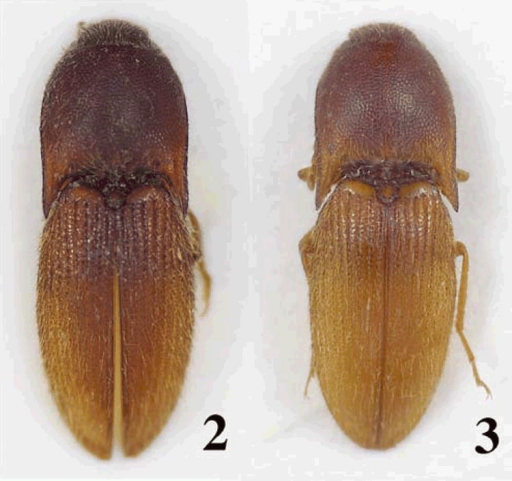 Photos of Bohartina species: B. vilchesensis sp. nov. 2, B. palmae sp. nov. 3.