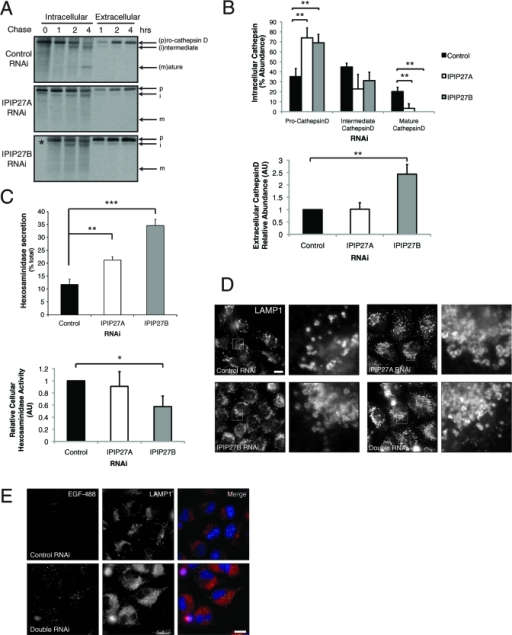 IPIP27 depletion causes lysosomal hydrolase missorting. (A) Processing of newly synthesized cathepsin-D in RNAi-treated HeLa cells. Following pulse-labeling with [35S]methionine/cysteine and incubation at 37ºC for the indicated times, cathepsin-D was immunoprecipitated from the cells (intracellular) or medium (extracellular) and detected by autoradiography. (B) Quantitation of cathepsin-D processing and secretion. Results are from three experiments and expressed in arbitrary units (AU) as the mean + standard deviation. **p < 0.001. (C) Hexosaminidase activity in IPIP27 RNAi-treated HeLa cell extracts or the medium following incubation at 37ºC for 6 h was assayed as indicated in Materials and Methods. Results are expressed as the mean + standard error of the mean from four experiments. *p < 0.01; **p < 0.001; ***p < 0.0005. (D) Immunofluorescence microscopy of IPIP27-depleted HeLa cells labeled with antibodies to LAMP1. Bar = 10 μm. (E) Immunofluorescence microscopy of control or IPIP27-depleted cells that have internalized Alexa 488-conjugated EGF (green) for 4 h at 37ºC prior to fixation and labeling with an antibody to LAMP1. Bar = 10 μm.