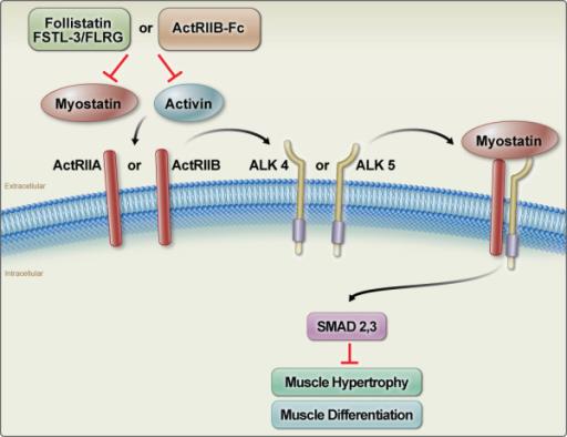 Inhibition of myostatin (MSTN) and activin signalling b ...