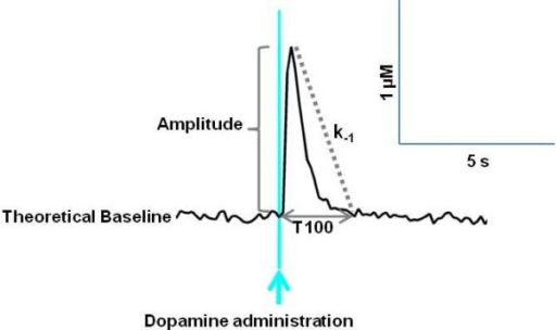 Representative graph showing dopamine clearance in rat striatum. The amplitude of the peak was measured as the maximum change in dopamine concentration from baseline. T100 represents the time taken for the dopamine concentration to return from maximum amplitude to baseline. The k-1 is the first order rate constant. It provides a measure of the rate of decay of dopamine concentration over time, to provide a measure of DAT efficiency.