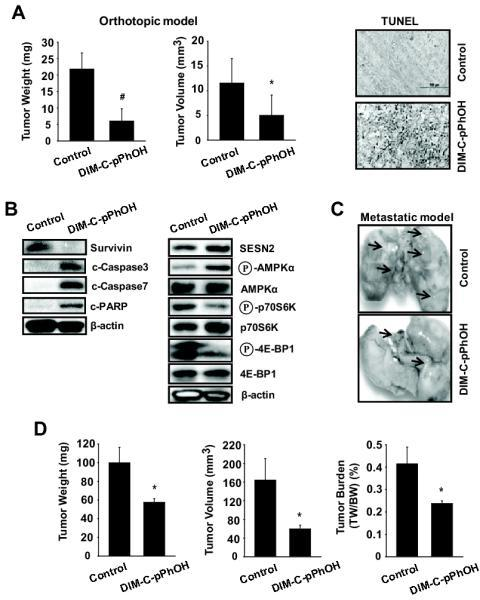 DIM-C-pPhOH inhibits tumor growth and lung metastasis in vivo. (A and B) The orthotopic mouse model of lung cancer. A549 cells were orthotopically implanted into athymic nude mice, and each mouse was dosed 3 times a week by oral gavage with either corn oil (control) or DIM-C-pPhOH (30 mg/kg/day) for 4 weeks starting 7 days after implantation. Median tumor weights and volumes (A, left panel) were calculated as described in the Materials and Methods. The data are presented as means with SD (n=10 per group). *P<0.05 and #P<0.001 vs control group. (A, right panel) TUNEL staining. Tumor sections were stained using the DeadEnd colorimetric kit as described in Materials and Methods. The apoptotic tumor cells are stained. Images were collected at high (×100) magnification. (B) Protein expression in tumor lysates. Tumor lysates from tumor samples were further analyzed by western blot analysis, and β-actin was used as a loading control. (C and D) The metastatic mouse model of lung cancer. A549 (2 × 106) cells were inoculated into athymic nude mice via the tail vein for 4 weeks before treatment, and each mouse was dosed 3 times a week by oral gavage with either corn oil (control) or DIM-C-pPhOH (30 mg/kg/day) for 4 weeks. (C) Lung micrographs show development of multiple tumor foci (arrows). (D) Metastatic tumor weight, volume, and burden were calculated.